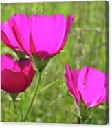 Winecup Flowers In Sunlight Canvas Print