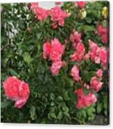 Winery Roses  Canvas Print