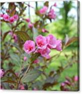 Wines And Rose Weigela Canvas Print