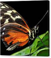 Wing Texture Of Eueides Isabella Longwing Butterfly On A Leaf Ag Canvas Print