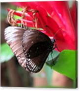 Wings Of Brown - Butterfly Canvas Print