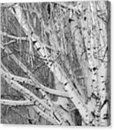 Icy Winter Birch Tree  Canvas Print