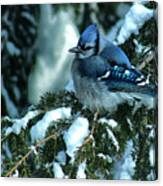 Winter Blue Jay Canvas Print