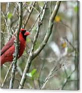Winter Cardinal Sits On Tree Branch Canvas Print