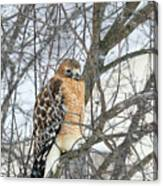 Winter Hawk Canvas Print