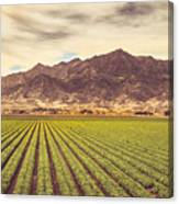 Winter Lettuce Canvas Print
