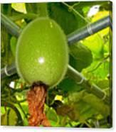 Winter Melon In Garden 2 Canvas Print