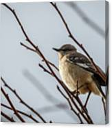 Winter Mockingbird Canvas Print