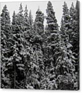 Winter Pine Spires Canvas Print