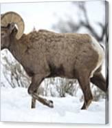 Winter Ram Canvas Print