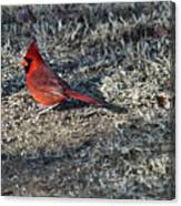 Winter Redbird Canvas Print