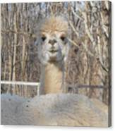 Winter White Alpaca Canvas Print