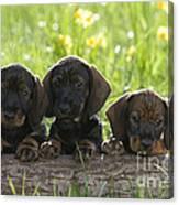 Wire-haired Dachshund Puppies Canvas Print