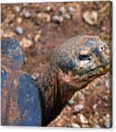 Wise Old Tortoise Canvas Print