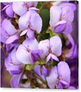 Wisteria Blossoms Canvas Print