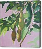 Wisteria Pod On Pink Background Canvas Print