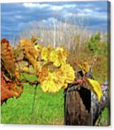 Withered Grape Vine Canvas Print