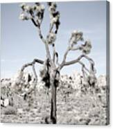 Withering Joshua Tree Canvas Print
