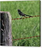 Willie Wagtail Canvas Print