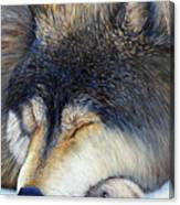 Wolf Dreams Canvas Print