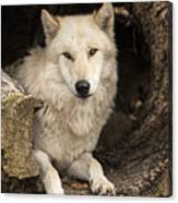 Wolf In A Log Canvas Print