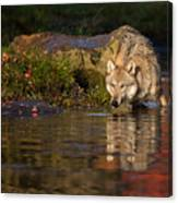 Wolf In Pond Canvas Print