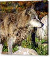 Wolf On Patorl Canvas Print