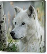 Wolf, White Canvas Print