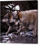 Wolves Synchronized Dancing Canvas Print