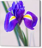 Wonderful Iris With Dew Canvas Print