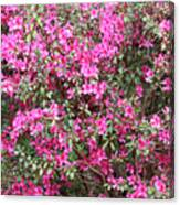 Wonderful Pink Azaleas Canvas Print