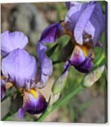 Wonderful Purple Irises Canvas Print