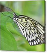 Wonderful Up Close Look At A Large Tree Nymph Butterfly Canvas Print