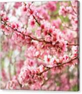 Wonderfully Delicate Pink Cherry Blossoms At Canberra's Floriade Canvas Print