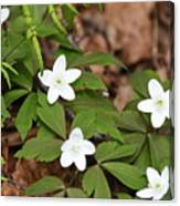 Wood Anemone Blooming Canvas Print