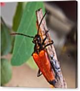 Wood Beetle Exploring Canvas Print