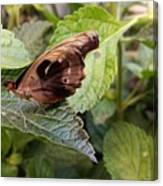 Wood Butterfly Canvas Print