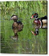 Wood Duck Couple Canvas Print