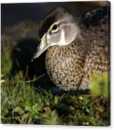 Wood Duck Female Canvas Print
