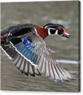 Wood Duck In Action Canvas Print