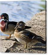 Wood Duck Pair By The Lake Canvas Print