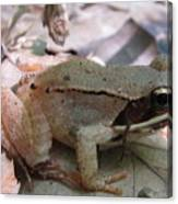 Wood Frog  Canvas Print
