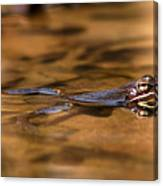 Wood Frog Reflecting On Golden Pond Canvas Print