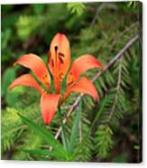 Wood Lily Also Called Prairie Lily Or Western Red Lily Canvas Print