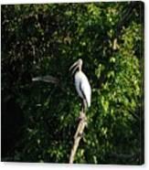 Wood Stork-out On A Limb Canvas Print