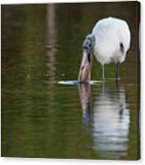 Wood Stork With Fish Canvas Print