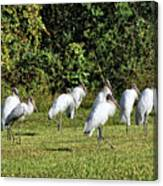 Wood Storks 2 - There Is Always One In A Crowd Canvas Print