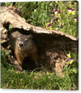 Woodchuck Ready For Spring Canvas Print