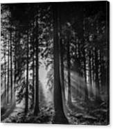Woodland Walks Silver Rays B/w Canvas Print
