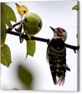Woodpecker. Dendrocopos Minor Canvas Print